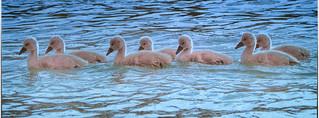 Sieben junge Schwäne durchqueren mein Bild am See