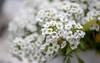 Sweet Alyssum (Dotsy McCurly) Tags: canoneos80d efs35mmf28macroisstm sweetalyssum flower plant teeny tiny flowers white soft bokeh dof yard nj newjersey 7dwf flora macromademoiselle