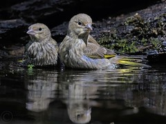 the Young Ones (laagwater) Tags: greenfinch groenling carduelischloris bath bad nikond300s nikonafs300mmf4 nikontc14eii swifterbant swifterbos bird nature juvenile vogel natuur ngc