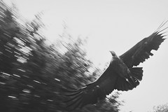 Condor at speed (TempusVolat) Tags: picmonkey blur speed condor prey bird garethwonfor tempusvolat gareth wonfor tempus volat mrmorodo warwick warwickcastle birdofprey monochrome mono fly flying killer pan panning panned fast