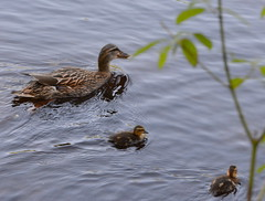 STICK CLOSE TO MAMA MALLARD...THERE ARE EAGLES WHO WANT TO RIP YOUR HEAD OFF! (vermillion$baby) Tags: bird chicks duck ducklings mallard mother new spring fishtrapcreek babies birdh abbotsford bc