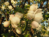 Apple Blossom リンゴの花 (kachigarasu PL (busy)) Tags: poznan poland bokeh jabłoń kwiat blossom apple リンゴ リンゴの花 poznań polska wielkopolska ポズナン ポーランド ヴィエルコポルスカ olympusem10 olympusm1442mmf3556 flower tree 木