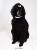 Eden (Kyle Attwood) Tags: pet dog poodle family cute fluffy