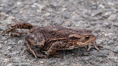 why did the toad cross the road? (RCB4J) Tags: bufobufo guvs garscubeestate nature rcb4j ronniebarron scotland sigma150500mmf563dgoshsm sonyilca77m2 universityofglasgow amphibian art commontoad photography wildlife