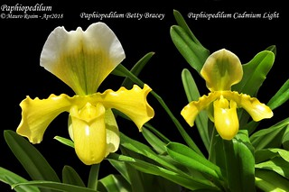 Paphiopedilum Betty Bracey & Paph. Cadmium Light