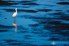 Lonesome (Brian Knott Photography) Tags: bird birds egret egrets snowyegret snowyegrets lowtide dusk dawn lake ocean sea bay tide water reflection sunset sunrise minimalism bolsachica huntingtonbeach california wildlife tidalbasin wetlands