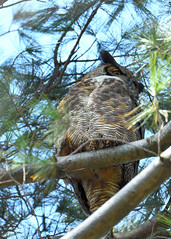 DSC_1252_edit (Hanzy2012) Tags: nikon d500 afsnikkor500mmf4difedii toronto ontario canada wildlife bird teleconverter tc14eii greathornedowl bubovirginianus owl