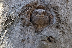 Eastern Screech Owlet (kevinwg) Tags: nature tree owl eastern screech owlet easternscreechowl easternscreechowlet