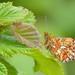 Pearl-bordered Fritillary (Ireland's Fauna-Dave McGrath) Tags: pearlborderedfritillary