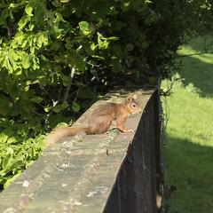Red Squirrel, Red Engine (4486Merlin) Tags: animal cumbria england europe heritagerailways northwest railways redsquirrel settlecarlislesc transport unitedkingdom wildlife grosbygarrett gbr thehadrian rytc wcrc