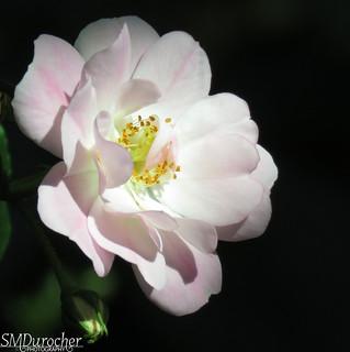 180528Natural Rose c