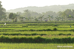 Rice fields and Banana trees, Sampang, Pulau Madura (Sekitar) Tags: pulau madura suramadu insel island indonesia provinsi jawa timur ostjava java eastern rice fields paddies sawah landscape pemandangan banana tree sampang