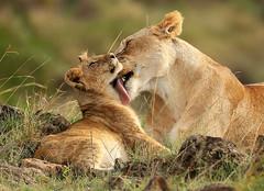 Masaï Mara - Kenya (lotusblancphotography) Tags: africa afrique kenya safari wildlife faune animal lion lioncub tenderness tendresse bébélion nature