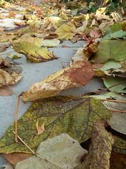 11-11-17 Dayton 17 leaves, fall color (Chicagoan in Ohio) Tags: dayton clouds sun sunhalo leaves fallcolor