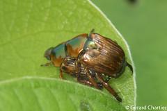 Popillia sp. (GeeC) Tags: animalia arthropoda beetles cambodia coleoptera insecta kohkongprovince nature popillia rutelinae scarabbeetles scarabaeidae scarabaeoidea tatai