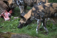 Wild African Dogs (Scott 97006) Tags: dogs african spotted kill food eat zoo lycaon pictus