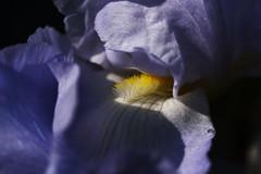 DSC_0011 Iris (PeaTJay) Tags: nikond750 sigma reading lowerearley berkshire macro micro closeups gardens outdoors nature flora fauna plants flowers iris