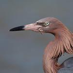 reddish egret thumbnail