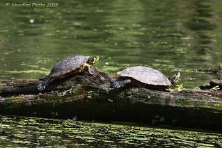 Rotwangen-Schmuckschildkröte beim Sonnenbad - Red-eared slider sun bathing