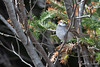 White-throated Sparrow-18-3 (Ian L Winter) Tags: birds ianwinterphoto nature newfoundland powersrd stjohns whitethroatedsparrow wwwianwinterphotocom