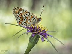 En su trono. (Jesus Tejon) Tags: mariposa macro flor boked olympus flora flares s