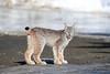 Winter Visitor (Megan Lorenz) Tags: canadianlynx canadalynx lynx felid feline cat wildcat animal mammal nature wildlife wild wildanimals northernontario ontario canada mlorenz meganlorenz