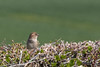 Hedging It (Mac ind Óg) Tags: housesparrow spring scotland bird walking scottishborders cove passerdomesticus holiday berwickshire