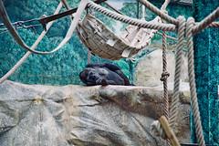 Il y a mille et une façons d'être à l'aise (medboualam) Tags: photographie photography photo image picture eau water zoo parc beauval zooparc saintaignan france pictureoftheday couleurs colors animal gorille pacifique apes singe monkey thinking pensif
