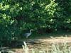 Graureiher... (norbertherrmann) Tags: wasservögel natur moor reiher