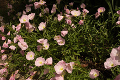 jdy143XX20180523a2238Bias-0.3 stops.jpg (rachelgreenbelt) Tags: ghigreenbelthomesinc oenotheraall usa oenotheraberlanderisiskiyoupink greenbelt ordermyrtales midatlanticregion ouryard rosids americas subfamilyonagreae northamerica maryland familyonagraceae eudicots magnoliophyta eveningprimrose floweringplants myrtales myrtalesorder oenothera onagraceae onagraceaefamily onagreae onagreaesubfamily spermatophytes suncup sundrop