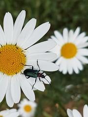 Käfer auf der Margerite. Beetle on the marguerite. (st.klaus612) Tags: margerite marguerite blüte blossom insekt insect tier animal nature natur käfer beetle
