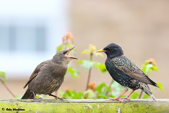 Young Starling and parent. (raven fandango) Tags: may 2018 fledgling fledglings young chicks british birds bird birding canon eos 7dmkii 100400 400 400mm dof bokeh chick england english feeding gardenbirds garden great hertfordshire herts kingdom loud nature photography photo photos stevenage starling starlings spring uk unitedkingdom united wildlife wildbirds wild