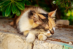 Croatian cat (ncs1984) Tags: croatia croatian cat kitty feline animal mammal pretty nature beautiful calico tortoiseshell color colour fur furry travel holiday canon 6d europe eu
