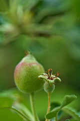 Apples are growing (pstenzel71) Tags: natur pflanzen apple spring bokeh darktable apfel