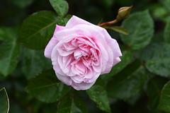 DSC_0026 (PeaTJay) Tags: nikond750 sigma reading lowerearley berkshire macro micro closeups gardens outdoors nature flora fauna plants flowers bouquet rose roses rosebuds