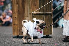 PugCrwal-134 (sweetrevenge12) Tags: portland oregon unitedstates us pug parade crawl brewing sony pugs dog pet