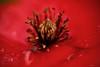 "MacroMondays   ""all natural"" (kiareimages1) Tags: macromondays allnatural poppies papaveri coquelicot colors rosso red rouge spring summer nature naturalcompositions natural macro macroflowers macrophotographie macrophoto photosmacro photosartistic kiareimaginations"