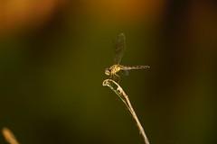 DSC00669.jpg (joe.spandrusyszyn) Tags: unitedstatesofamerica odonata paynespraire dragonfly nature byjoespandrusyszyn florida gainesville insect animal arthropod anisoptera