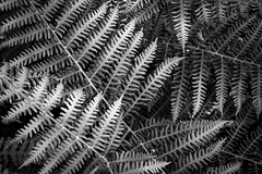 Ferns in Layers (Captain192) Tags: woods outwoods theoutwoods ferns fern plants light shade shadow bw