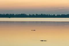 Gators in Lake Hancock at Sunrise (Photomatt28) Tags: alligatormississippiensis alligatorcrocodilians americanalligator animals circlebbarreserve florida lakeland natureparks reptilesandamphibians sunrise