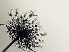 (gzammarchi) Tags: italia paesaggio natura campagna ravenna lidodidante fiore bn