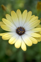 Yellow Daisy (Kayrock317) Tags: nature flower beautiful bokeh bloom blossom yellow nikon d3300 illinois chicago spring summer macro