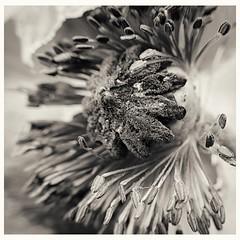 Fallen Poppy (Alex . Wendes) Tags: lensbaby lensbabycomposor sweet35 sweet35optic d7000 nikond7000 poppy anthers blackandwhite bw toneddigitalbw flower macro flowermacro