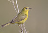 Orange-Crowned Warbler (Sarbhloh/Harjeet) Tags: vermivoracelata delvalleregionalpark livermore ca