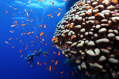 Big Brain (tigertrams.se) Tags: red sea dive diver underwater ocean water coral fish anthia egypt