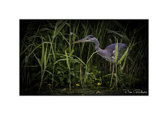 Hidden Hunter. Now you see me now you don't. (timgoodacre) Tags: bird birds heron greyheron water waterfowl waterbird watching hunter hunting nature reeds lilly lilies
