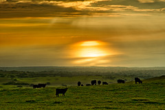 Big Island Beef (dougbank) Tags: hawaii island cows sunset hazy ocean pacific orange reflections grazing hdr landscapes landscape water