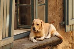 Sur la fenêtre (Jolivillage) Tags: jolivillage dog cane fenêtre finestra window caunesminervois aude languedoc languedocroussillon occitanie france francia europe europa fabuleuse