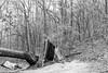 fractures (fallsroad) Tags: turkeymountain tulsaoklahoma woods forest tree trees dead fallen blackandwhite bw monochrome landscape