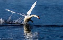 Take off Swan (FotoRoar2013) Tags: 2018 hafrsfjord mars påske vann svaner fotoroar2013 blue bird sea swan